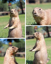 Prairie dog four images set Royalty Free Stock Photo