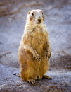Prairie dog a on guard Stock Image