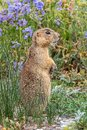 Prairie Dog - Gunnison`s Specie Royalty Free Stock Photo