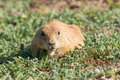 Prairie dog looking for food Royalty Free Stock Photo