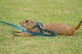 Prairie dog lying on field closeup Royalty Free Stock Image