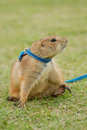 Prairie dog lying on field closeup Royalty Free Stock Photo