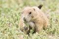 Prairie dog munching on grain Royalty Free Stock Photo