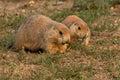 Prairie Dog Pair Feeding Royalty Free Stock Photo