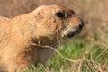 Prairie Dog Portrait Royalty Free Stock Photo