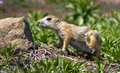 Prairie dog praire taking to a good scratch Royalty Free Stock Photography