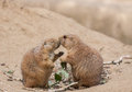 Prairie dog prairiedogs kissing eachother tenderly Royalty Free Stock Images