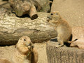 Prairie dog puppies Royalty Free Stock Image