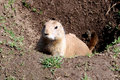 Prairie dog raising out of a hole Royalty Free Stock Image