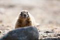 Prairie dog on a rock looking into the camera Royalty Free Stock Photos