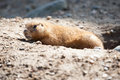 Prairie dog on a rock looking into the camera Royalty Free Stock Photo