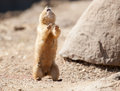 Prairie dog on a rock looking into the camera Royalty Free Stock Image