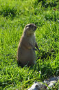 Prairie dog rodent animal black tailed standing on hind legs Stock Photo