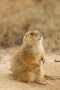 Prairie dog sitting on burrow a up at its Royalty Free Stock Images
