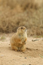 Prairie dog sitting up on burrow a at its Royalty Free Stock Images