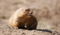 Prairie dog in soft focus on a rock looking into the camera Royalty Free Stock Photos