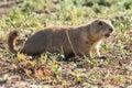 Prairie dog sounding alarm Royalty Free Stock Photo