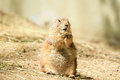 Prairie dog stading straight these animals native to the grasslands of north america Royalty Free Stock Image