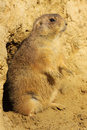 Prairie dog standing upright Stock Photo