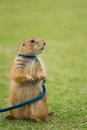 Prairie dog standing upright on field Royalty Free Stock Image