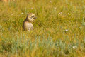 Prairie Dog Town Theodore Roosevelt National Park Royalty Free Stock Photo