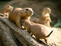 Prairie dog two dogs on a small piece of wood Stock Photography