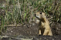 Prairie dog, USA Royalty Free Stock Photo