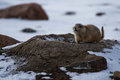 Prairie Dog in Winter Royalty Free Stock Photo