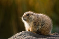 Prairie dog in winterfur warm with autumn colors background sitting on the edge of its burrow Royalty Free Stock Image