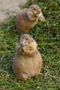 Prairie dogs eating plant peacefully Royalty Free Stock Photography