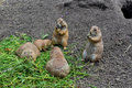 Prairie dogs eating Royalty Free Stock Photo