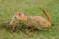 Prairie dogs feedind on field Stock Photo