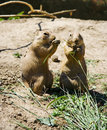 Prairie dogs feeding Stock Image