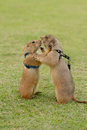 Prairie dogs getting a kiss on field Royalty Free Stock Photography