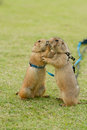 Prairie dogs getting a kiss on field Stock Photography