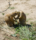 Prairie dogs kiss Royalty Free Stock Images
