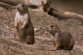 Prairie dogs medium shot of two in the dirt Stock Photos
