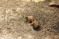 Prairie dogs out of the hole and into the world these are ready for adventure Royalty Free Stock Photography