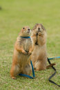 Prairie dogs standing upright con field Stock Photography