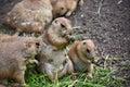 Prairie dogs in zoo photo taken on Royalty Free Stock Photos