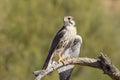 Prairie Falcon on Branch Royalty Free Stock Photo