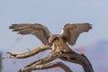 Prairie Falcon Landing Royalty Free Stock Photo