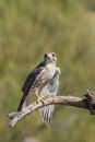 Prairie Falcon Royalty Free Stock Photo