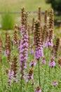 Prairie Gay Feather Royalty Free Stock Photo