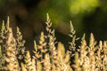 Prairie grass close up photo of in bloom in summer with a shallow depth of field Stock Photo