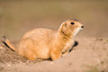 Prairie marmot amd burrow a aka dog sits halfway into his with his nose up in an alert way his little face is shown in high Royalty Free Stock Images