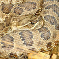 Prairie Rattlesnake (Crotalus viridis) Royalty Free Stock Photo