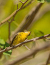 Prairie warbler looking up the setophaga discolor is an active and curious bird Royalty Free Stock Photos