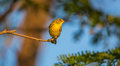 Prairie warbler perched on a branch the setophaga discolor is migrant in cuba coming north america Stock Images