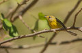 Prairie warbler perched on a branch the setophaga discolor is migrant in cuba coming north america Royalty Free Stock Images